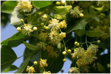 Linden_flower