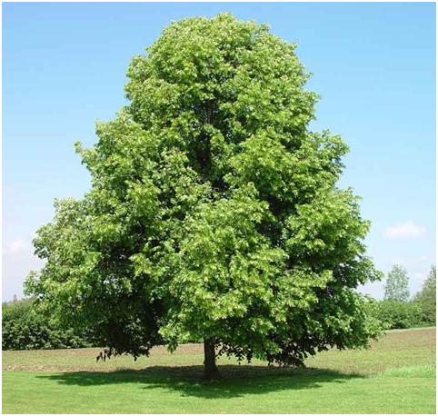 Linden_tree